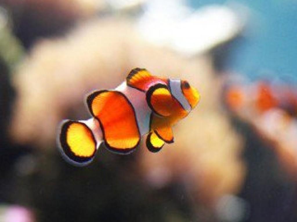 Take Nemo Home:東北角小丑魚復育計劃