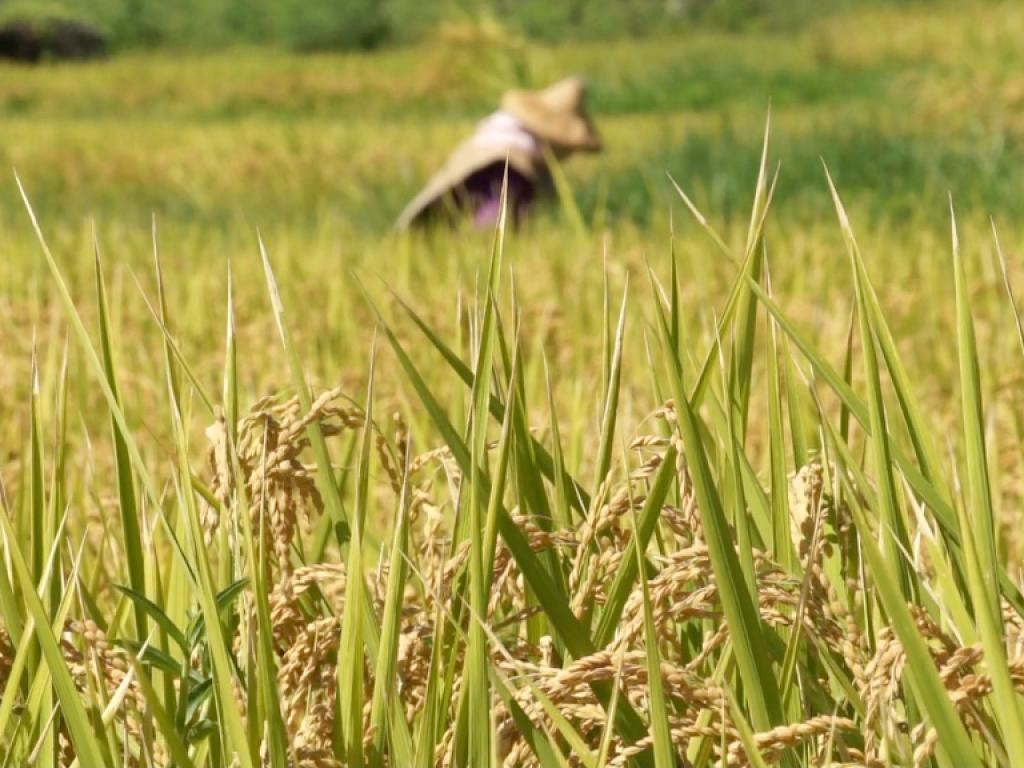 海稻米的願望 ─ 收割機募資計劃