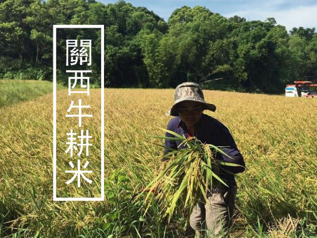 關西牛耕米|復興消失40年的牛耕文化