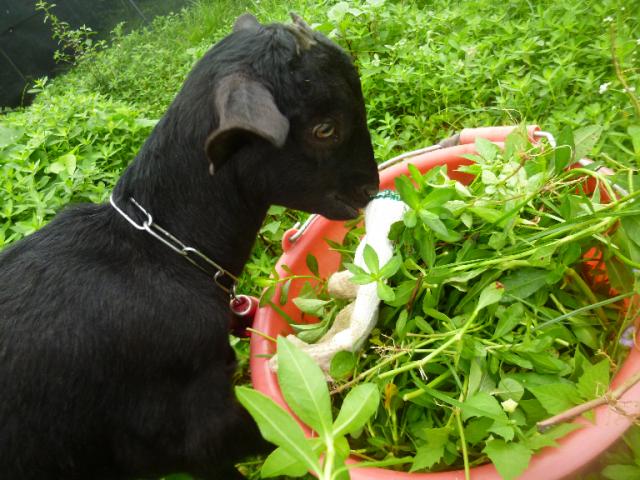 迷你黑愛吃素 ★ 山羊寶寶助養計畫與純素主義之路
