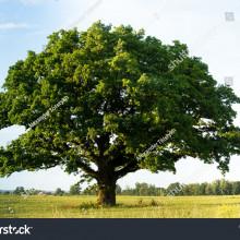 公里樹 Malkuth Tree